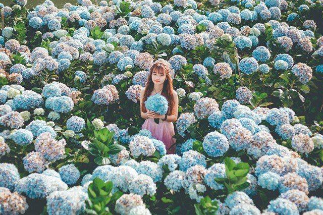 Cánh đồng hoa Cẩm Tú Cầu